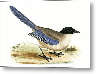 Azure Winged Magpie Metal Print