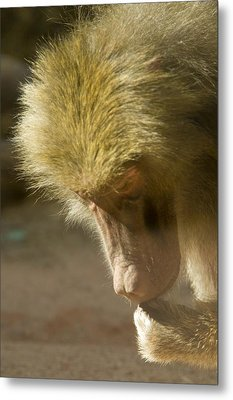 Baboon Craps Shooter Metal Print by Richard Henne