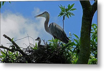 Baby And Mom Great Blue Heron Metal Print by Judy Wanamaker
