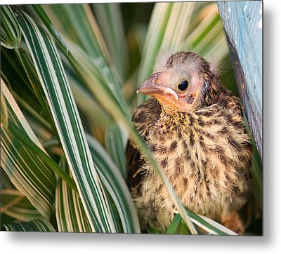 Baby Bird Peering Out Metal Print by Douglas Barnett