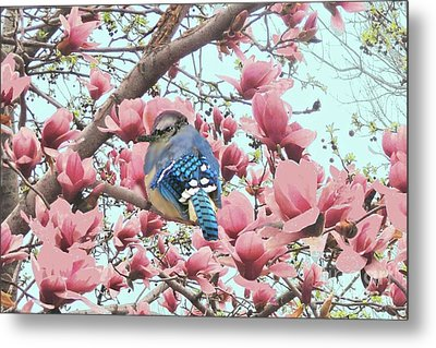 Baby Blue Jay In Magnolia Blossoms  Metal Print