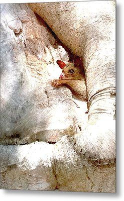 Baby Brushtail Possum 2 Metal Print by Darren Stein