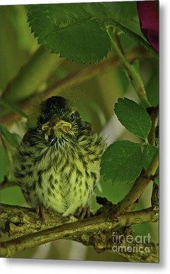Baby Chipping Sparrow  Metal Print by Deborah Johnson