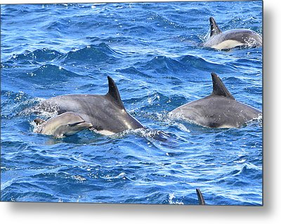 Baby Common Dolphin Metal Print by Shoal Hollingsworth