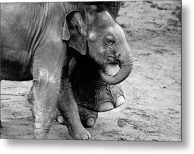Baby Elephant Security Metal Print by Wes and Dotty Weber