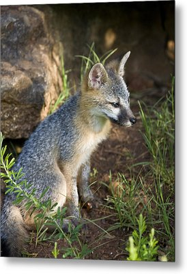 Baby Gray Fox Resting On Bluff Side Metal Print by Michael Dougherty
