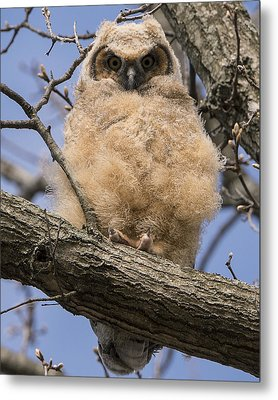 Baby Great Horned Owl Metal Print by Stephen Flint