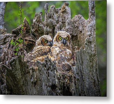 Baby Great Horned Owls Metal Print by LeeAnn McLaneGoetz McLaneGoetzStudioLLCcom
