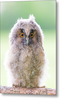 Baby Long-eared Owl Metal Print by Janne Mankinen