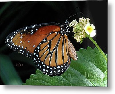 Baby Monarch Macro Metal Print