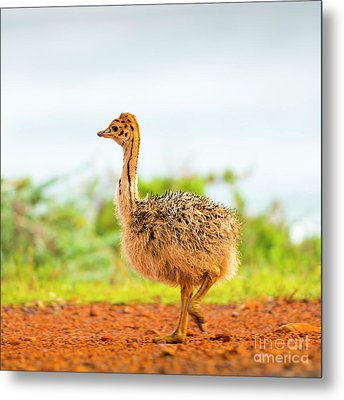 Baby Ostrich Metal Print by Tim Hester