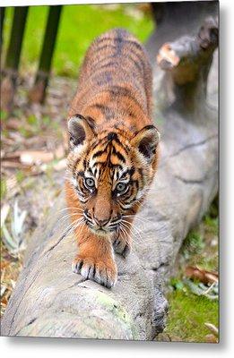 Baby Sumatran Tiger Cub Metal Print