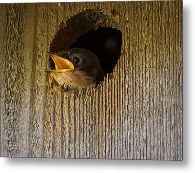 Baby Swallows First Impression Metal Print by Jean Noren
