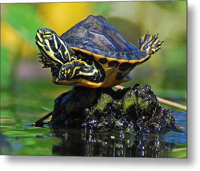 Baby Turtle Planking Metal Print by Jessie Dickson