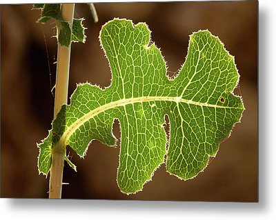 Back Side Light On A Leaf At Sunset Metal Print by Yoel Koskas