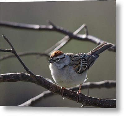 Metal Print featuring the photograph Backlit Chipping Sparrow by Susan Capuano