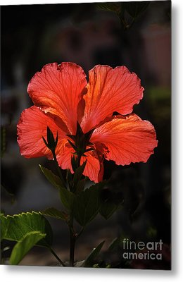 Metal Print featuring the photograph Backlit Hibiscus by Robert Bales