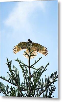 Backlit Landing Hawk Metal Print