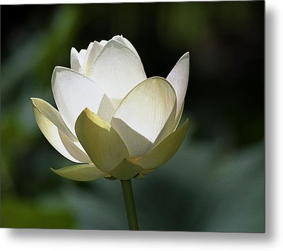 Backlit Lotus Metal Print by Barry Culling