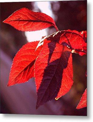 Backlit Red Leaves Metal Print by Kami McKeon