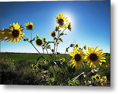 Metal Print featuring the photograph Backlit Sunflower 1 by Dave Dilli