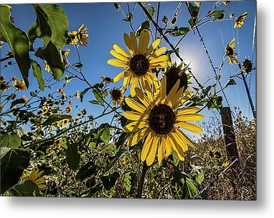 Metal Print featuring the photograph Backlit Sunflower 3 by Dave Dilli