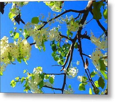 Backlit White Tree Blossoms Metal Print by Amy Vangsgard
