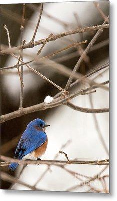 Backyard Bluebird Metal Print
