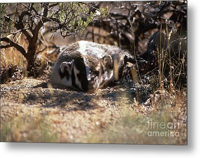 Metal Print featuring the photograph Badger by Edward R Wisell