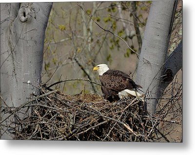 Bald Eagle 01 Metal Print by Ann Bridges