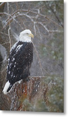 Bald Eagle 1 Metal Print