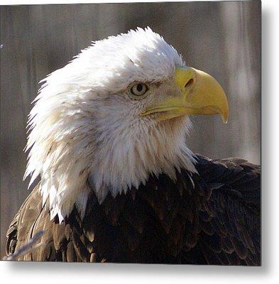 Bald Eagle 3 Metal Print by Marty Koch