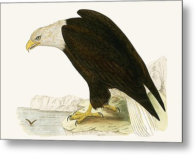 Bald Eagle Metal Print by English School