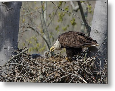 Bald Eagle Feeding Metal Print by Ann Bridges