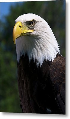 Metal Print featuring the photograph Bald Eagle by JT Lewis