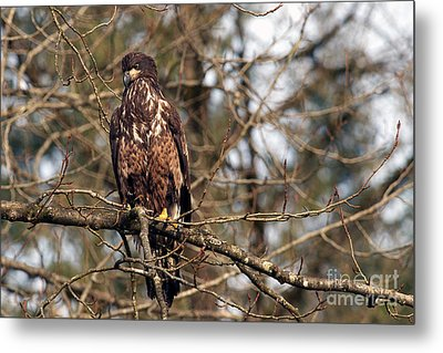 Bald Eagle Juvenile 2 Metal Print by Sharon Talson