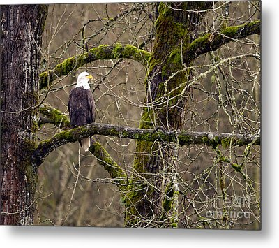 Bald Eagle On Mossy Branch Metal Print by Sharon Talson