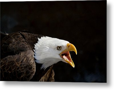 Bald Eagle Portrait 2 Metal Print by Laurie With