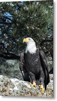 Bald Eagle Ready For Flight Metal Print