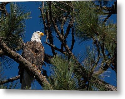 Bald Eagle Resting Metal Print