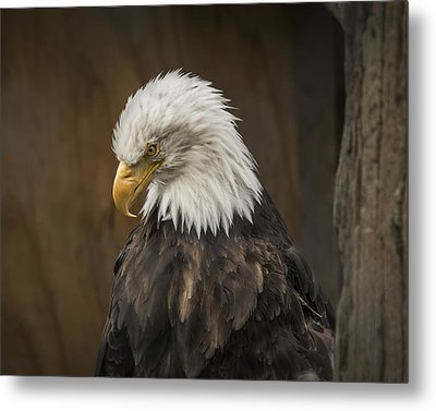 Bald Eagle Metal Print by Robin Williams