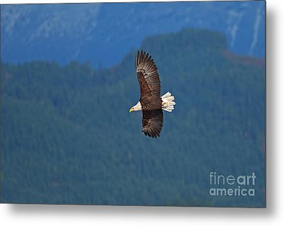 Metal Print featuring the photograph Bald Eagle Soaring  by Sharon Talson