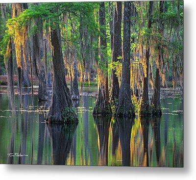 Baldcypress Trees, Louisiana Metal Print