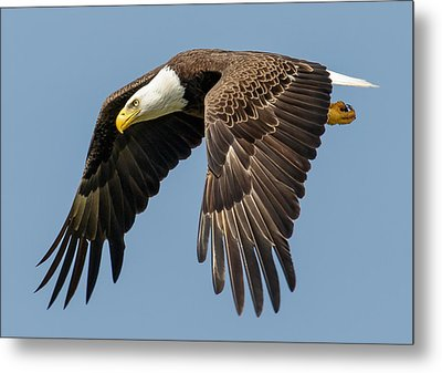 Bald Eagle In Flight Metal Print