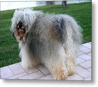 Metal Print featuring the photograph ball of fur Havanese dog by Sally Weigand