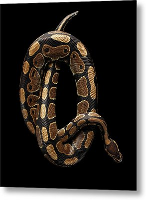 Ball Or Royal Python Snake On Isolated Black Background Metal Print by Sergey Taran