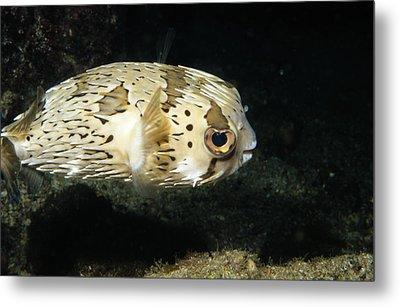 Balloonfish Profile Puffer Fish, Diodon Metal Print by James Forte