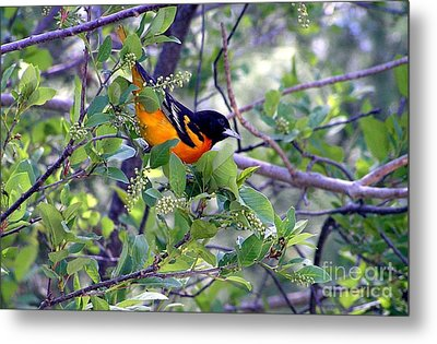Baltimore Northern Oriole Metal Print
