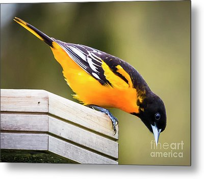 Metal Print featuring the photograph Baltimore Oriole About To Jump by Ricky L Jones