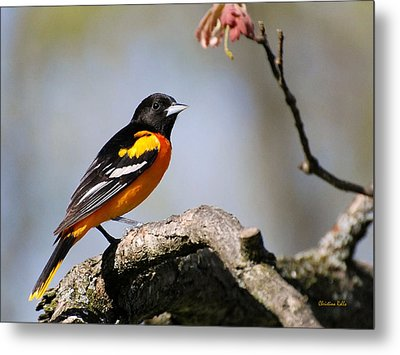 Baltimore Oriole Metal Print by Christina Rollo
